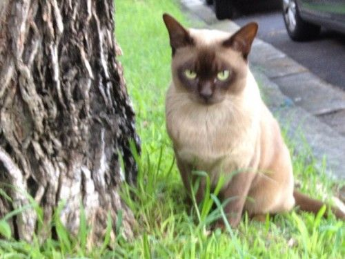 Missing Burmese Cat From Stanmore Nsw Burmese Cat Lost Cat Cats