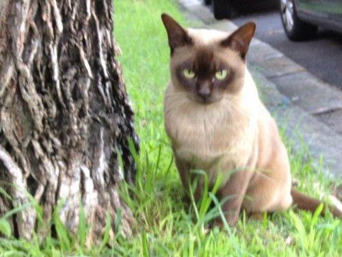 Burmese cat australia