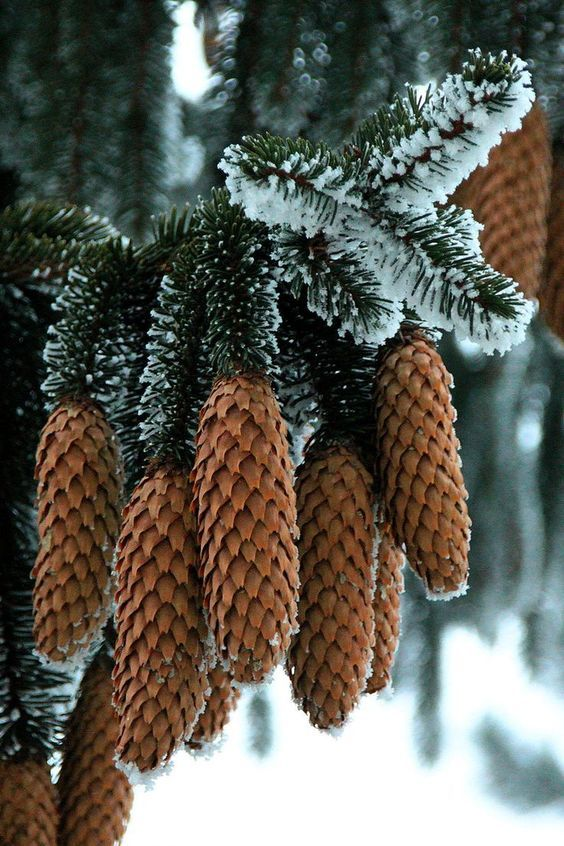 Holiday, Naturally | Fresh Pine & cones with snow dusting #wondersofnature
