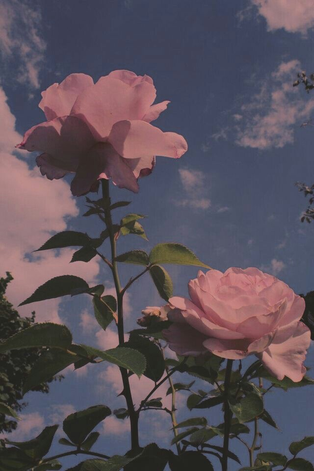 aesthetic sky flowers nature background rose
