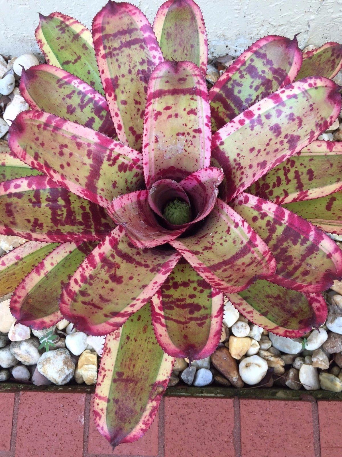 Bromeliad , Neoregelia Captain Moxley Unusual Plant