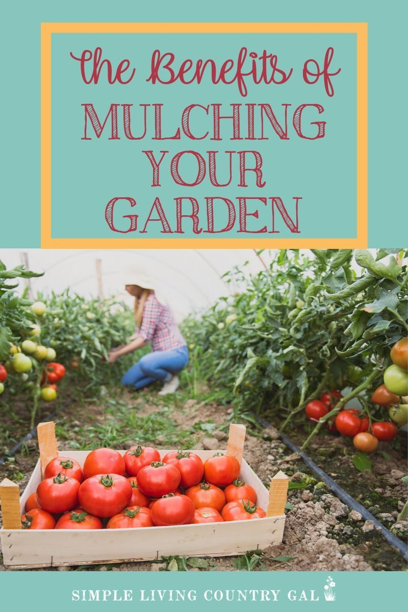 Tired of weeding your garden  Use this tip so you don't have to! is part of Organic vegetables, Gardening for beginners, Reduce weeds, Planting vegetables, Mulching, Small space gardening - Learn how to mulch your garden so you weed less and your plants grow more