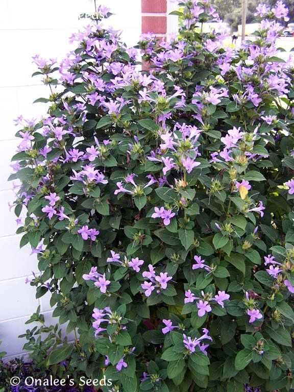 Image 0 Of Philippine Violet Seeds Barleria Cristata Hardy Shrub With Lavender Shade Tolerant Plants Shade Plants Planting Flowers
