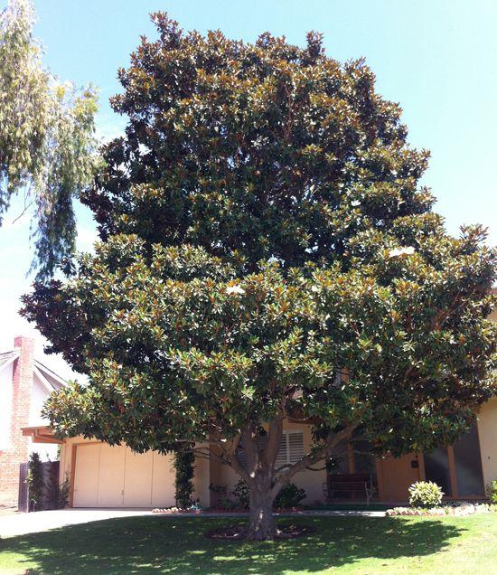 Magnolia Grandiflora Little Gem Magnolia Trees Southern Magnolia Tree Magnolia Grandiflora