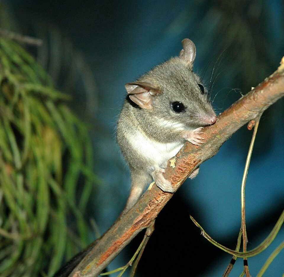 RedTailed Phascogale, also known as the redtailed