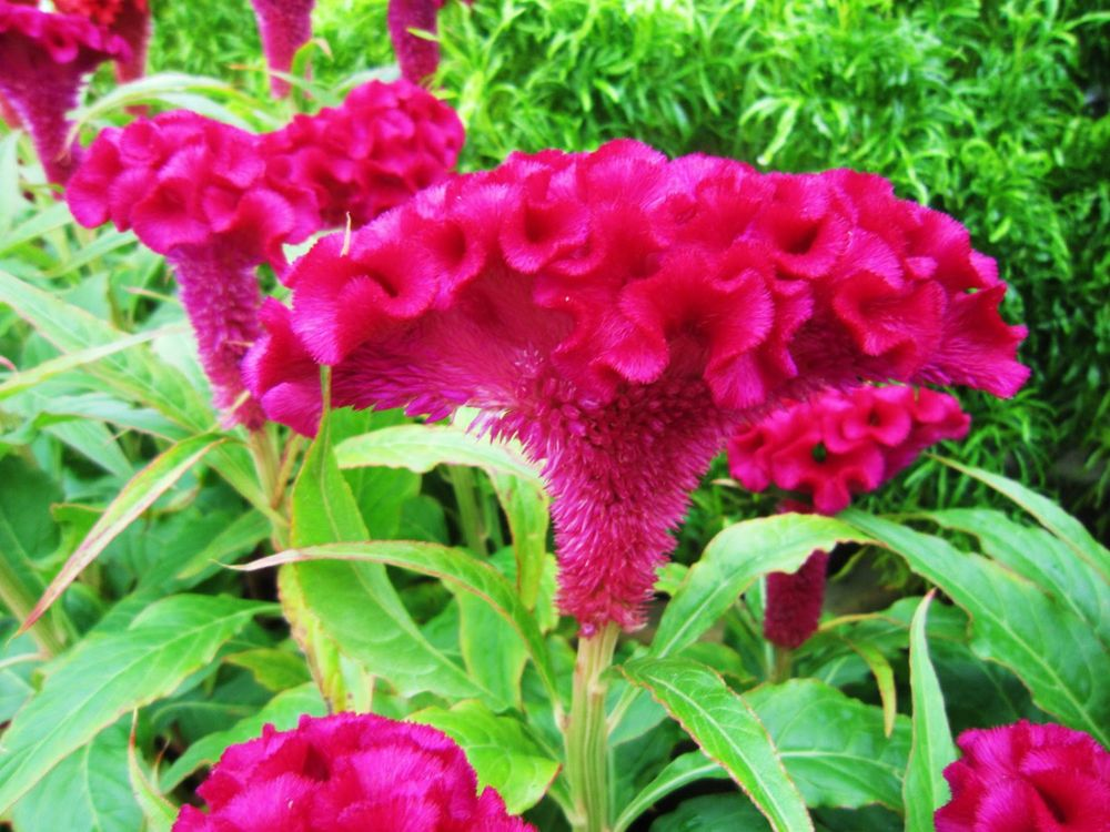 Celosia Cristata Pink Seeds Edible Heirloom Crested Cockscomb Flowering Plant Ebay Flowers Celosia Flower Planting Flowers
