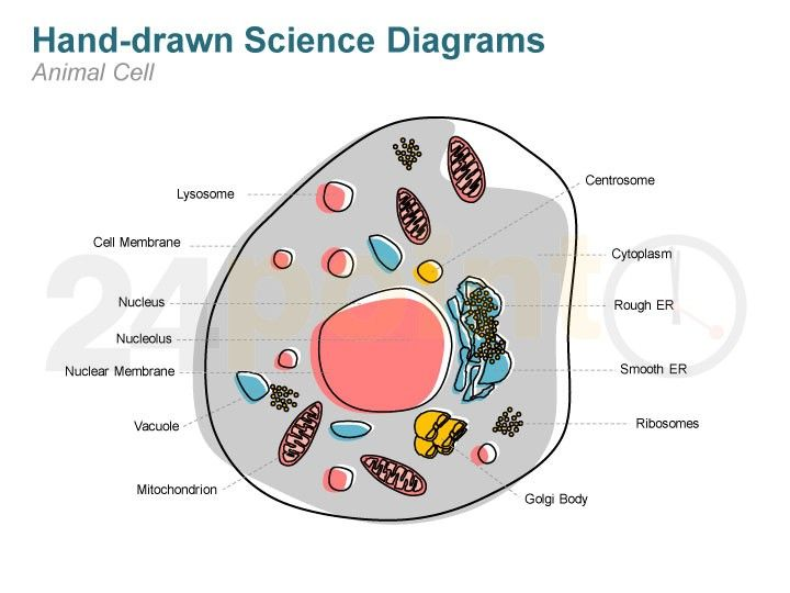 Animal cell hand drawn science icons and diagrams powerpoint animal cell hand drawn science icons and diagrams powerpoint template toneelgroepblik Choice Image