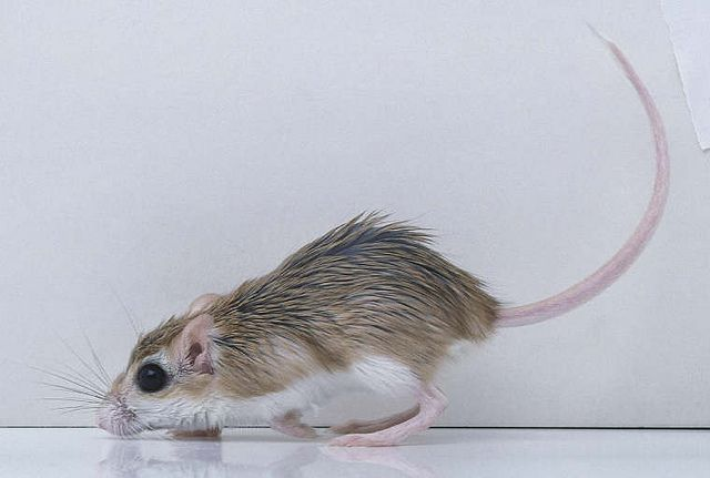 Crete Spiny Mouse (Acomys Minous) by cretanbeaches.com users, via Flickr