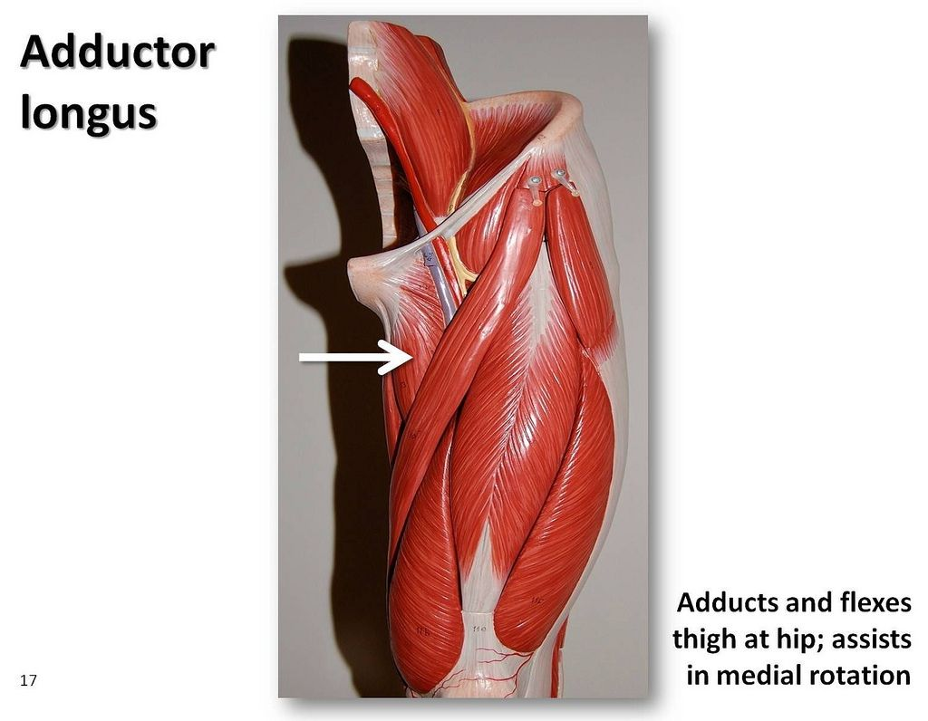 Adductor longus - Muscles of the Lower Extremity Anatomy Visual ...