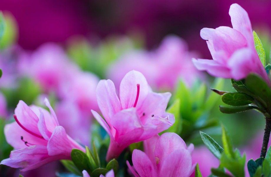 Pin By Aleyda Gonmez On Plante Et Fleure Flower Wallpaper Pink Flowers Background Flower Background Wallpaper