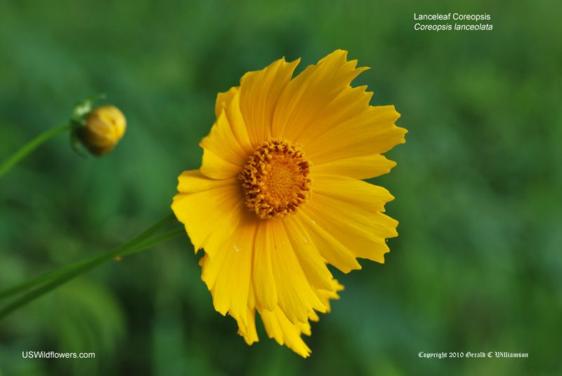 Lanceleaf coreopsis native garden pinterest wildflowers wild a perennial plant native to much of temperate north america mightylinksfo