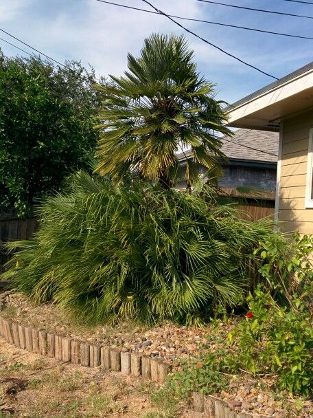 Trimmed up palm