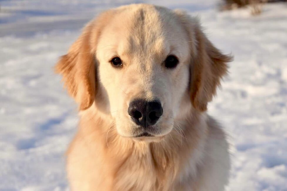 Goldenretriever Goldenhour Golden Dogs Dog Cute Cutedogs
