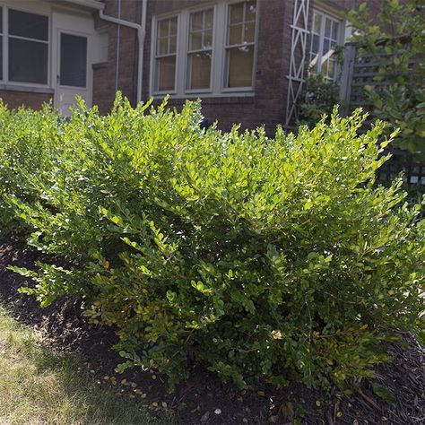 How To Prune And Trim Bushes And Shrubs How To Trim Bushes Landscaping Shrubs Garden Shrubs