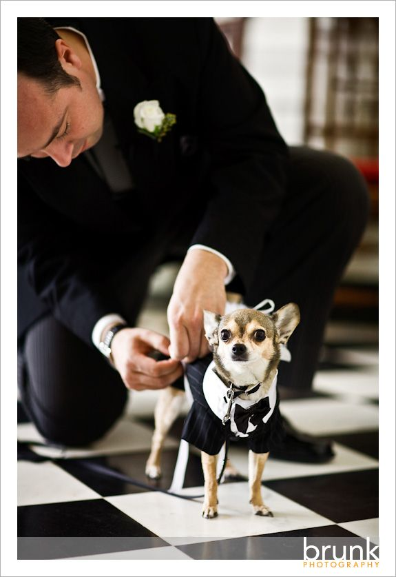 cdbec239e33 My chihuahua is going to be one of my ring bearers...