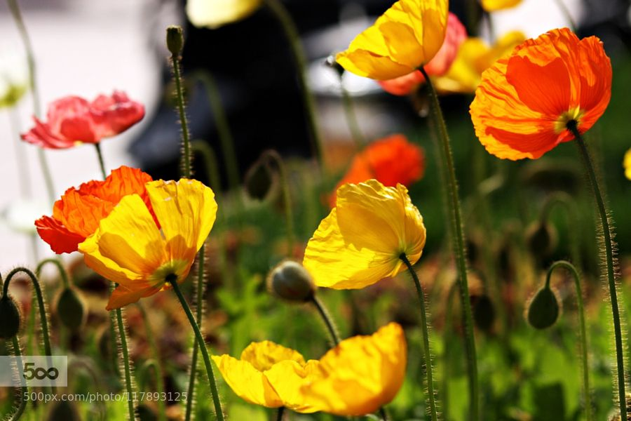 Poppy Flower by kimmd35141 #nature