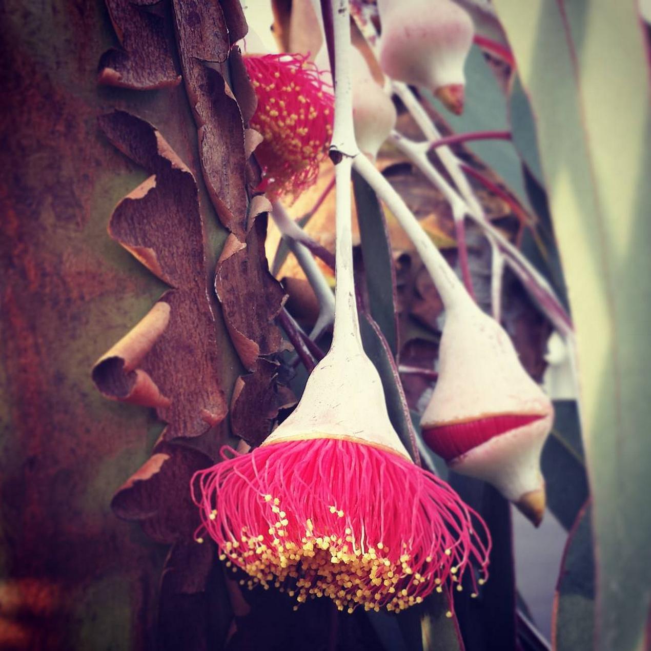 Australian native flowers <3