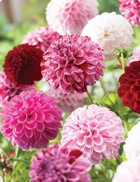 Dahlia Potluck:  This unique Dahlia is a true modern wonder. Each tuber will give off dozens of flowers. Each flower can be a different color ranging from pure red, pure white, white with red stripes, red with white stripes or even pink flowers. It is truly 'potluck' the color of the flower that will emerge from each stem.