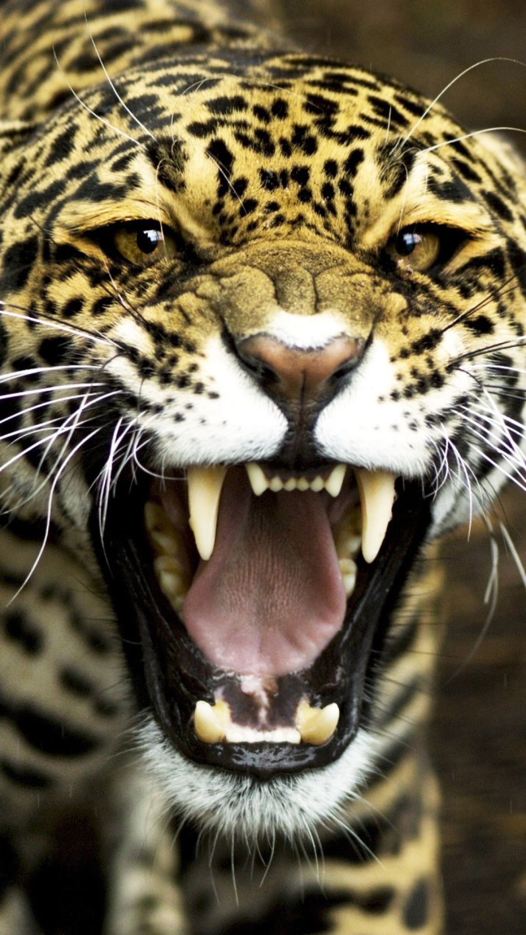 Jaguar face teeth aggression and so my cat obsession - Jaguar wallpaper for android ...