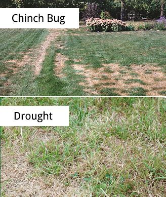 How To Check For Chinch Bugs Chinch Bug Damage Signs Chinch St Augustine Grass Care Grass Care