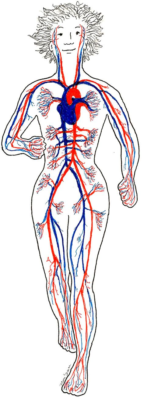 Your Circulatory System Is Responsible For Blood Flow Through The