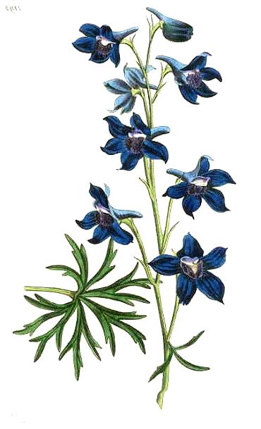 Larkspur Flower Tattoos on Pinterest in 2020 Larkspur