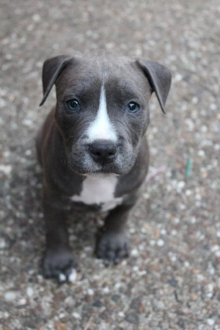 I Always Love The Grey Colored Pit Bulls Ritratti Di Cani