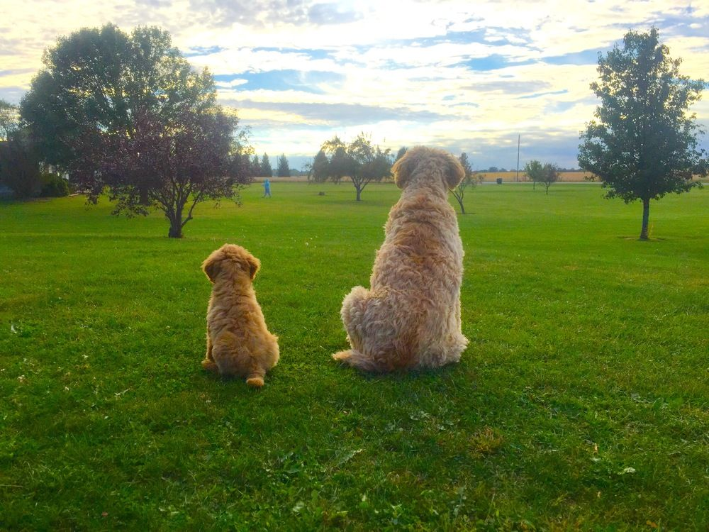 Pin by Charles Jones on Dogs Bernedoodle puppy, Puppies