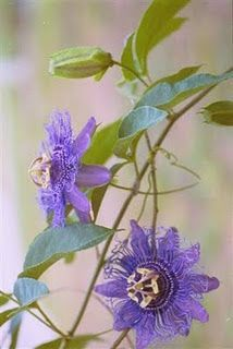 Native Plant Society - passion vine - purple flowers attract butterflies