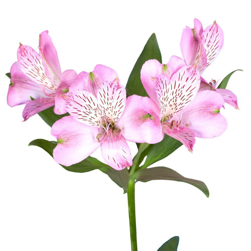 Fresh Pink Alstroemeria Flowers 80 Stems 320 Blooms In 2020 Alstroemeria Summer Flowers To Plant Peruvian Lilies