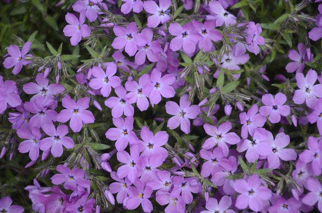'Rose Sprite' Hybrid Spring Phlox Phlox hybrid