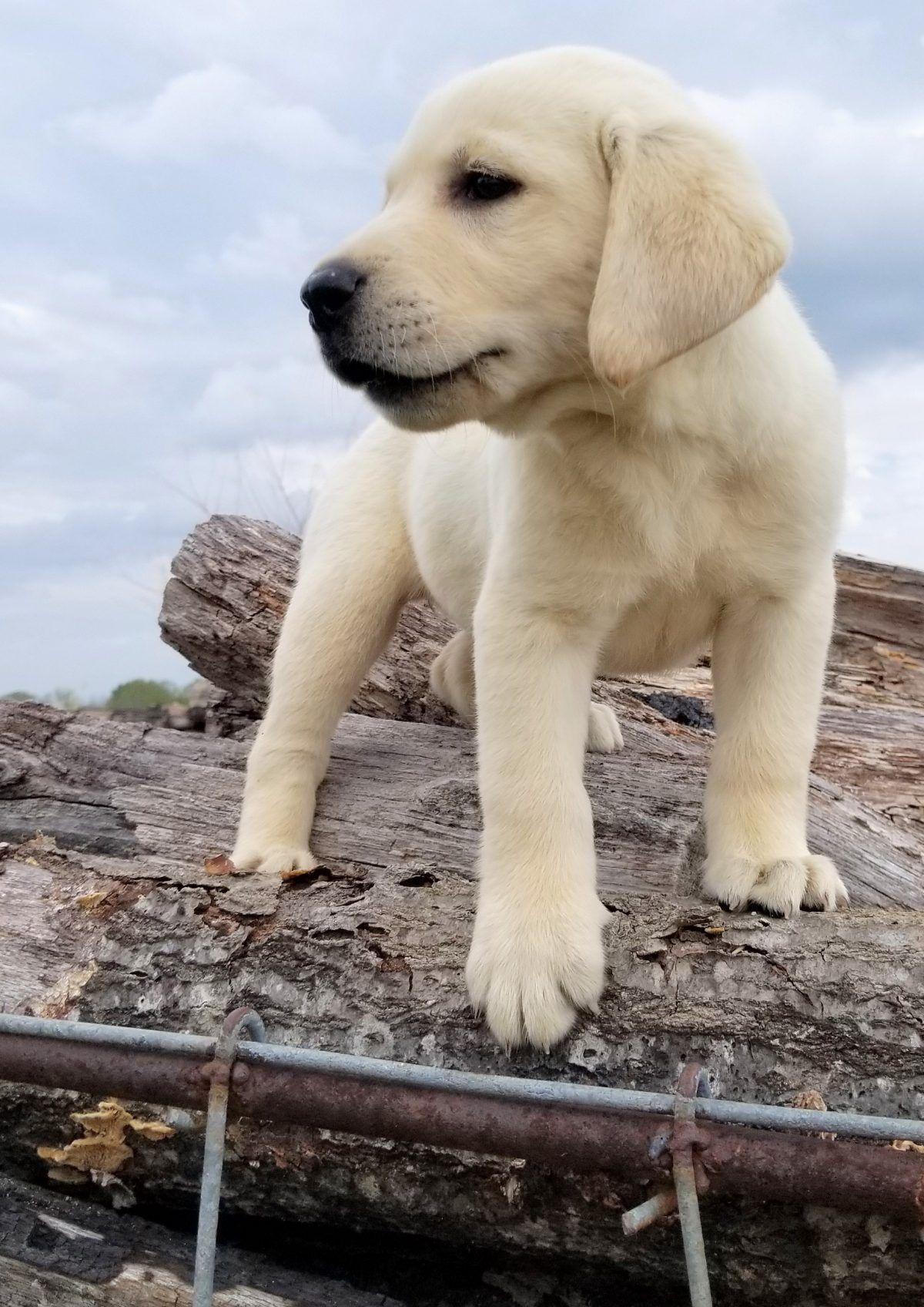Sugar Female Akc English Labrador Retriever Pup In Harrison Arkansas For Sale Englishlabrad Labrador Retriever Dog Breeds Medium Labrador Retriever Puppies