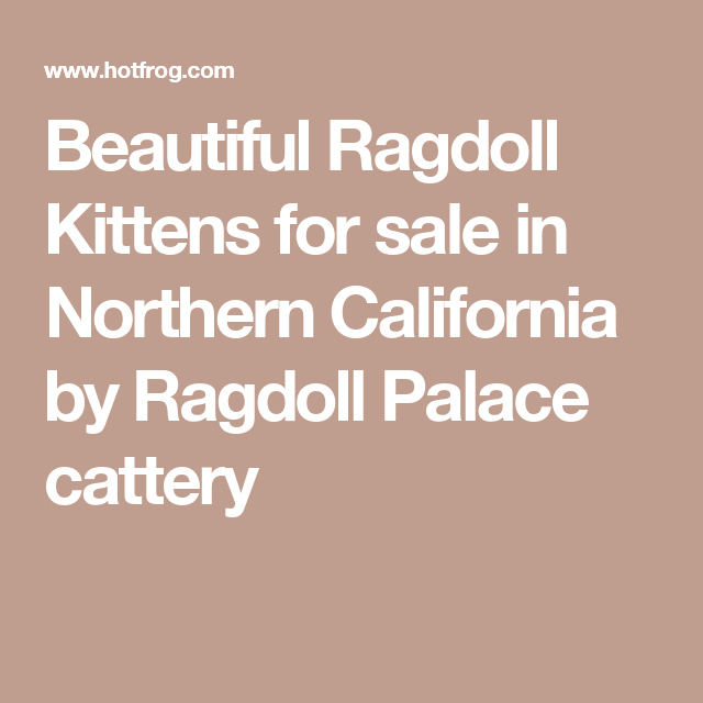 Beautiful Ragdoll Kittens For Sale In Northern California By Ragdoll Palace Cattery Ragdoll Kittens For Sale Ragdoll Kitten Kitten For Sale