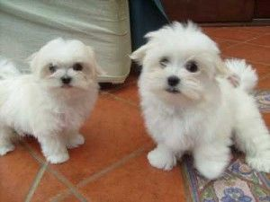Perfect Maltese Puppiesa Free Uk Classified Ads Advertising Used Cars For Sale London Buy Sell Connect In 2020 Maltese Puppy Puppies Really Cute Puppies