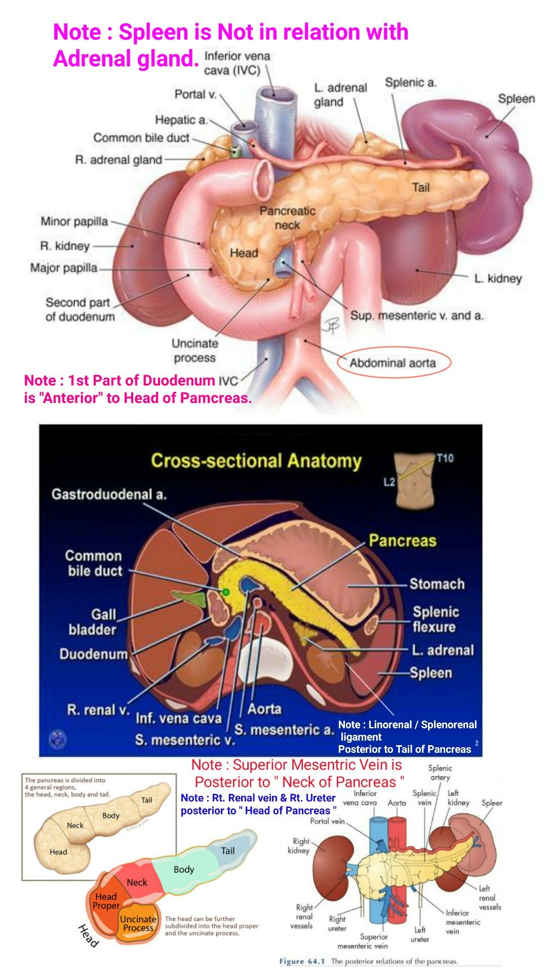 Relations Of Pancreas Posterior Relation Of Neck Of Pancreae