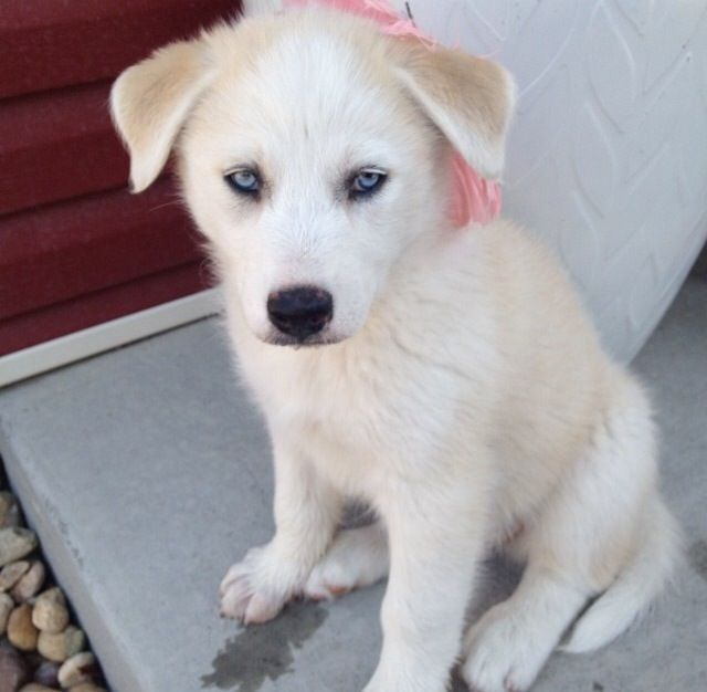 Great Pyrenees Husky Mix Google Search Doggy Cute Dogs
