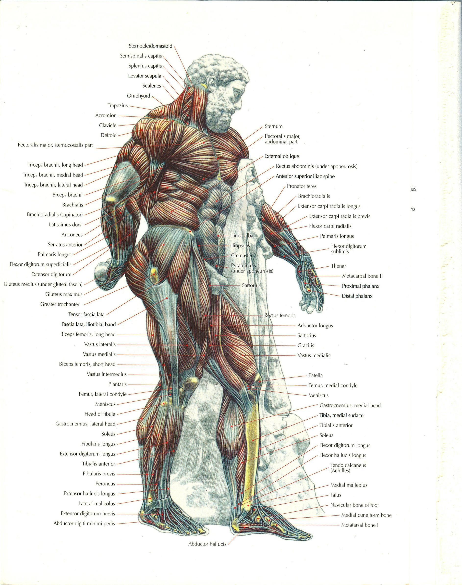 A Complete Illustration Of Your Musculature In 2019 Reference