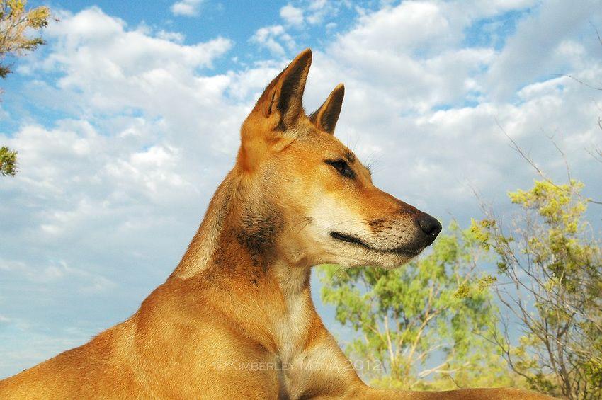 Honey, an Australian Dingo (Canis lupus dingo) rests on a