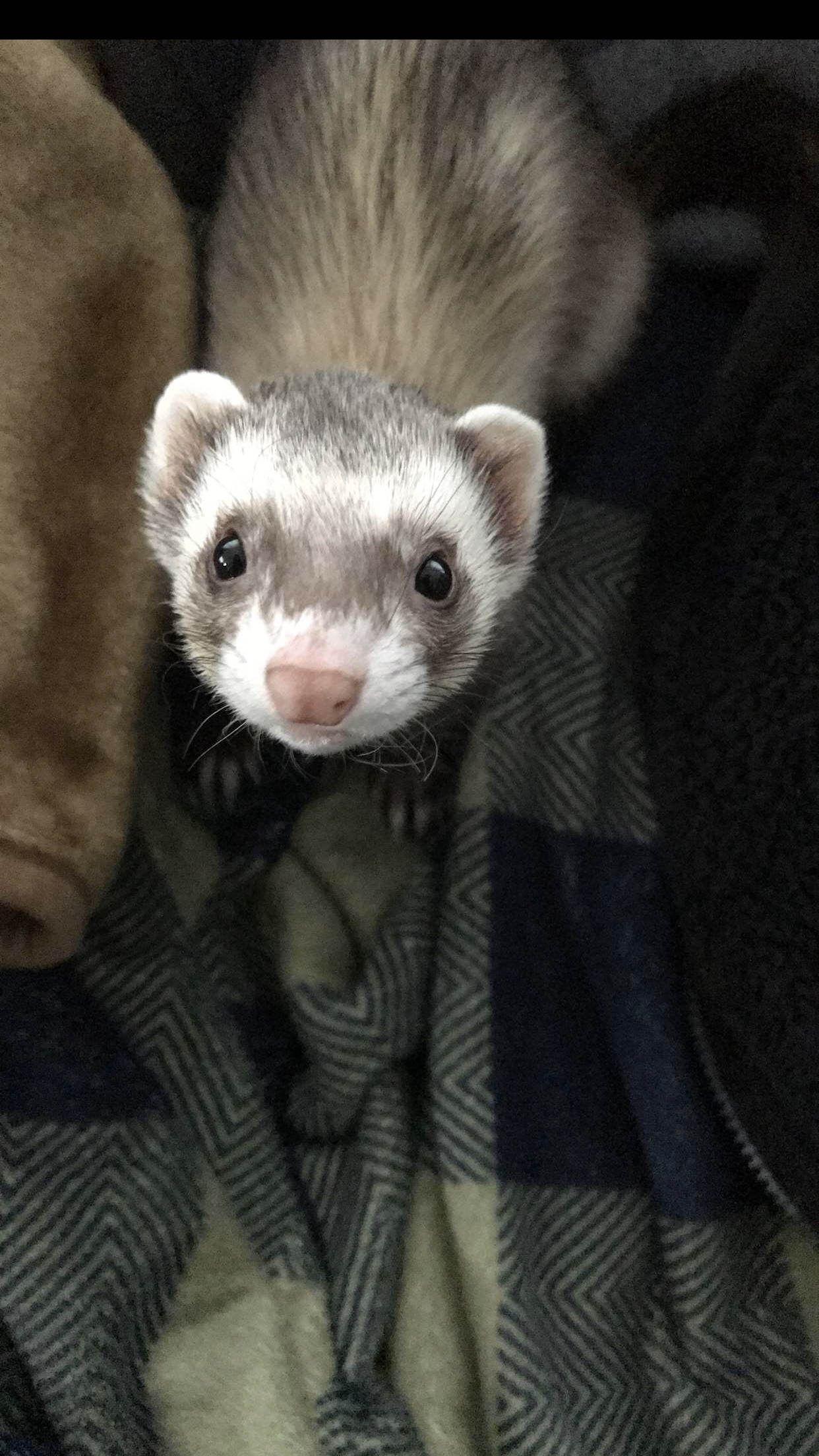 Lil ferret Frida just chilling https//ift.tt/2K4Sway cute