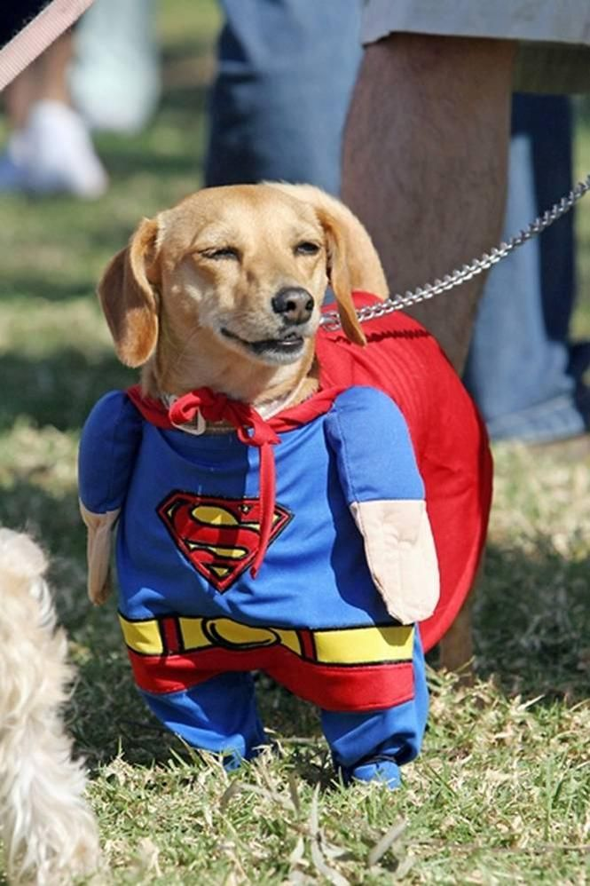 These Superman costumes will really make your pet look like a true superhero! http://www.wondercostumes.com/superman-pet-costume-dog-ptspcdc.html