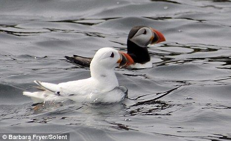 Photo of 'Extremely rare' white puffin caught on camera
