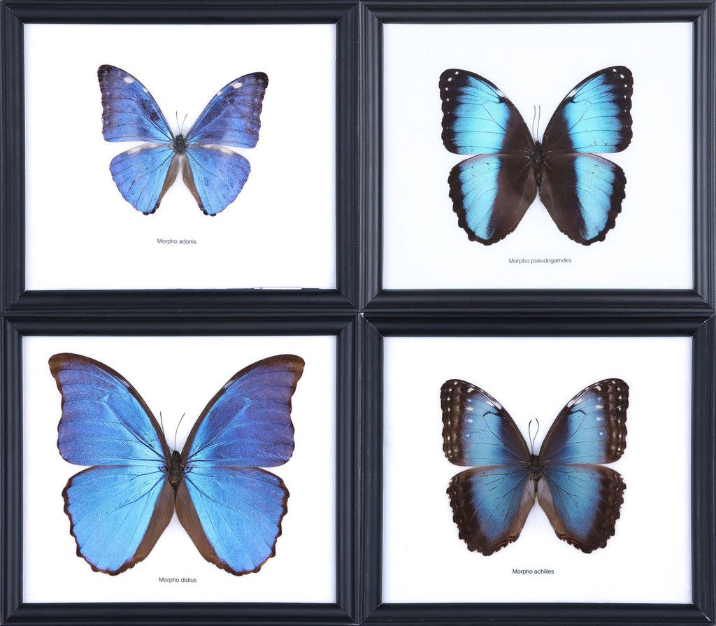 Blue Morpho Butterflies | Framed Under Glass | Wholesale Pack x 6 ...