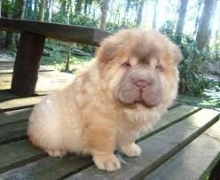 Image Result For Chow Pei Shar Pei Puppies Bear Coat Shar Pei
