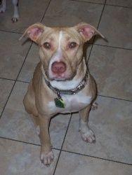 Hazel: Labrador Retriever/pit bull terrier