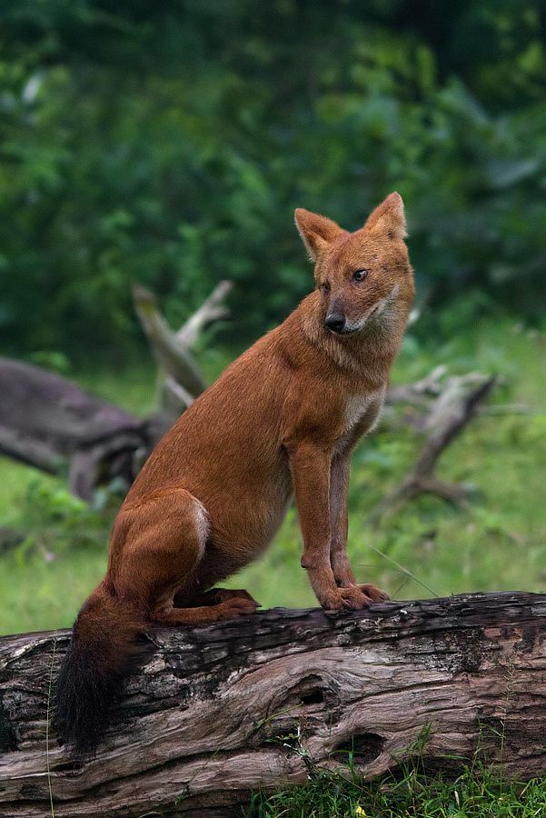 Indian Wild Dog or The Dhole by Girish Prahalad on 500px