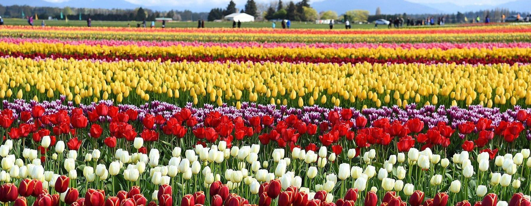 Tulip Festival Interactive Map Skagit Valley Tulip Festival Tulip Festival Morocco
