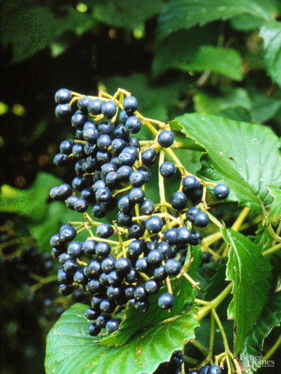 try these berry plants in your garden to attract birds