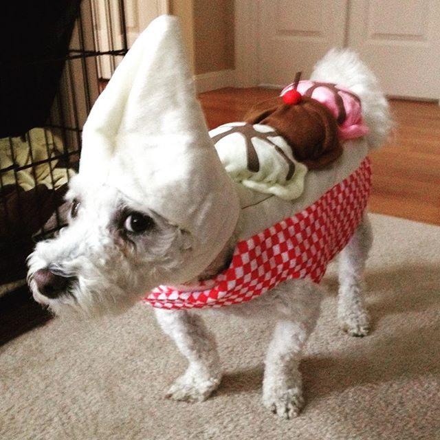 Quigleyjones Dogs Dogsofinstagram Puppygram Bichon
