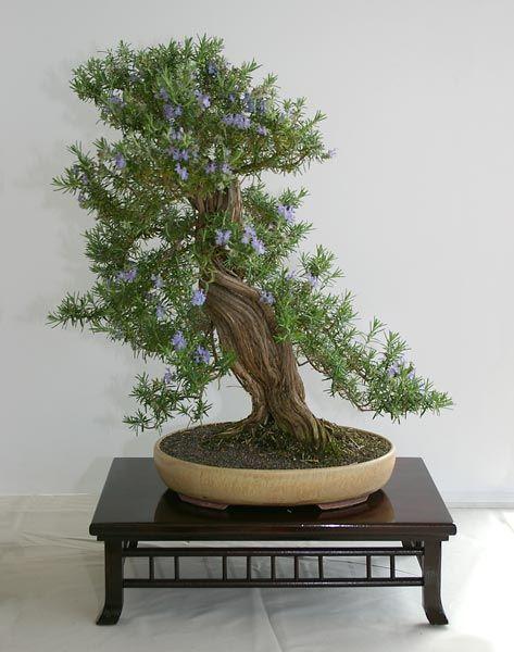 rosemary bonsai bonsai shohin bonsai penjing. Black Bedroom Furniture Sets. Home Design Ideas