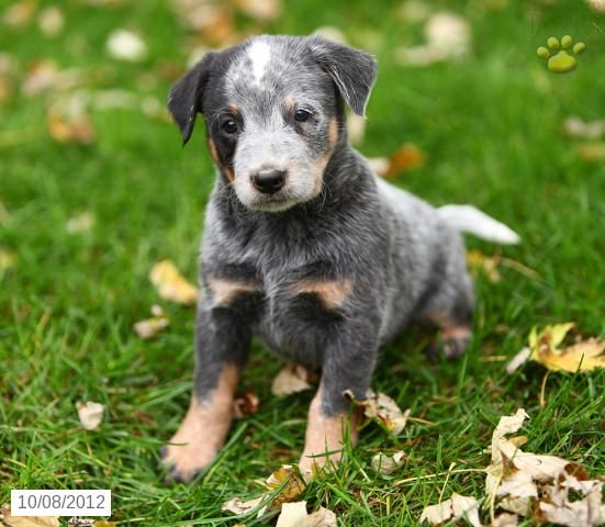 Puppies For Sale Blue Heeler Puppies Blue Heeler Puppies For Sale